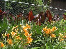 5 Stella de Oro Reblooming Daylily, Hemerocallis Perennial Yellow bloom