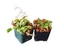 Venus Flytrap - Fly Trap - (Dionaea Muscipula) Carnivorous Plant - 2 Pack
