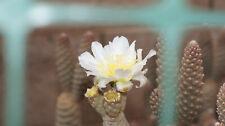 """4 TEPHROCACTUS ARTICULATUS INERMIS """"PINE CONE CACTUS"""" CACTUS PLANT CUTTINGS"""