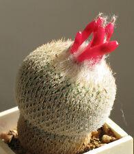 Epithelantha Micromeris (10 SEEDS)  Rare Cactus Succulent Plant Samen Semi Korn