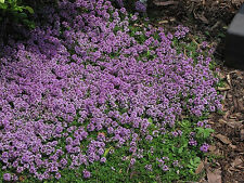 PURPLE CREEPING THYME Herb Plant 1-live Starter Plant Perennial WALK ON ME PLANT