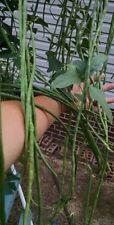 Organic Yard long beans,Sitaw, Asparagus Beans, Homegrown, 30+