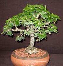 10 x faux acacia tree seeds. tree seeds qui peut être utilisé pour bonsai.