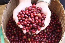 *UNCLE CHAN* 10 SEED COFFEE TREE SEED 100% ARABICA BEAN DOI-TUNG FRESH 2017