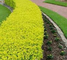 20 x Duranta Sheena's Gold dense fast hedging border plants in 40mm pots
