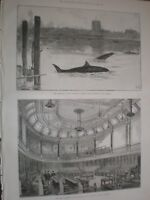 Grampus (orca) whales Thames at Chelsea & new LCC Chamber London 1890 prints