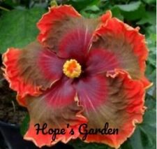 * Midnight Affair * Rooted Tropical Hibiscus Plant*Ships In Pot*