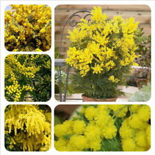 50 Golden Mimosa Seeds Acacia Baileyana Yellow Wattle Tree Bonsai Flower Seeds
