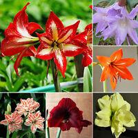 LOT 100 stücke mischfarbe amaryllis samen barbados lilie, amaryllis blume K9X1