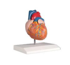 Herzmodell, anatomisches Modell Kardiologie, 2 Teile
