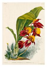 Catasetum Splendens Rubignosum by Jean Linden Orchids A4 Art Print