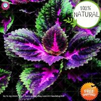 Rainbow Coleus Potted Seeds Plants Flower Japan Perennial Rare 100pcs/bag