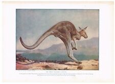 Antique Color Plate Lithograph ~ Leaping Great Kangaroo ~ Mammals of Other Lands