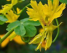 Nasturtium peregrinum - Canary creeper - Tropaeolum - 35 seeds - HH Annual
