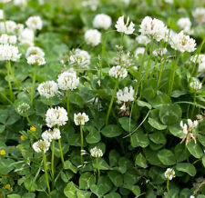 White Clover Seed, White Dutch Clover (1/2 lb. Pack), approx. 400000 Seeds