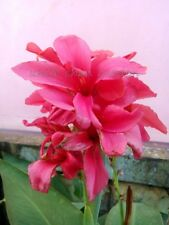 *UNCLE CHAN* 15 SEED DARK PINK CANNA LILY RARE COLOR TROPICAL PLANT STUNNING