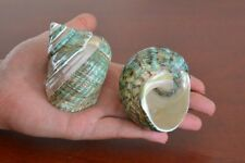 "2 PCS PEARL GREEN BANDED JADE TURBO SHELL HERMIT CRAB 2 1/2"" - 3"" #7068"
