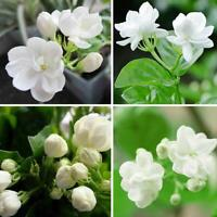 25seeds Bag Jasmine Seed Perennial Flower Seeds Indoor Plants Home Garden Decor