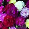 30+ CARNATION HARDY TRIUMPH MIX FLOWER SEEDS / GRENADIN /  FRAGRANT / PERENNIAL