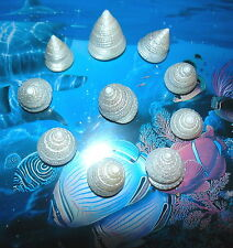 Ten (10) Pearl Tectus Stellatus Sea Shells 1-1/4 to 1-1/2 Beach Decor Craft