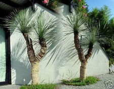 Hübsche Yucca rostrata für drinnen & draußen - sehr robust und frosthart / Samen