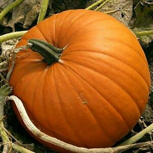 8 Pumpkin JACK O LANTERN Seeds – #1 Halloween Variety – Great For Kids