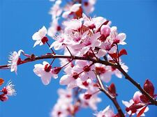NATURE PLANT FLOWER CHERRY BLOSSOM PINK JAPAN POSTER ART PRINT PICTURE BB1592A