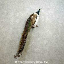 #17708 E | Indian Pied Peacock Taxidermy Bird Mount For Sale