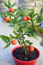 25 JERUSALEM CHERRY Madeira Winter Solanum Pseudocapsicum Flower Seeds *Comb S/H