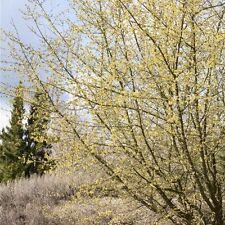 Cornel Cornus mas,Grand arbuste comme Protection des oiseaux et
