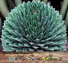 (20) Agave victoriae-reginae - Queen Victoria agave, royal agave Seeds -Comb S&H