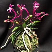 Neofinetia Falcata Orchid Bonsai Plants Flowers Natural Growth NEW 100 Pcs Seeds