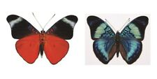 Panacea prola Folded Butterfly Taxidermy REAL Unmounted