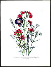 Corn Cockle & Ragged Robbin  1859 Loudon Hand-Colored Lithograph Botanical