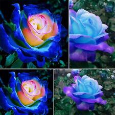 50 Stücke Samen Seltene Blau Rosa Rosen Balkon Garten Topf Rose Pflanzensamen