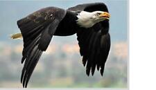 Adler Eagle Vogel Tier Magnet 3 D Tiefenoptik 9 cm Kühlschrank Souvenir,Neu
