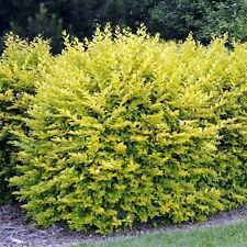 3 Golden Privet / Ligustrum Ovalifolium Aureum, 20-40cm Supplied In a 9cm Pot