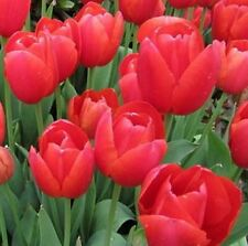 Rare True Red color Tulip Bulb Tulips bulbs Fresh Corms 5 pcs