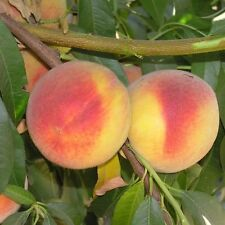 "Elberta Peach trees well rooted new stock 4"" potted plant up to 10 in tall"