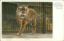 London Zoo Regent's Park Zoological Society c1910 Postcard TIGER TIGRESS