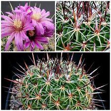 10 semi di Echinofossulocactus rosasianus ,piante grasse,seeds cactus
