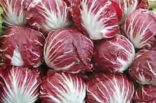 Radicchio – Leaf Chicory (cichorium indivia) 50 Reliable Viable Seeds