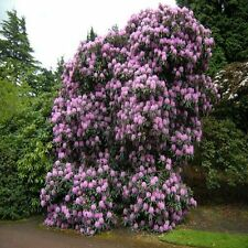 Rhododendron Fortunei Bush Seeds (Rhododendron Fortunei) 50+Seeds