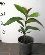 PURPLE MANGOSTEEN FRUIT TREE PLANT SEEDLING 18 MONTHS OLD