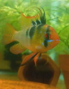 German Blue Ram Pair....Beautiful Fish...Tank Raised