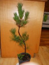 13 Year Old Informal Upright Japanese Black Pine 1/2 Inch Trunk Bonsai