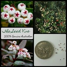 20+ TASMANIAN SNOW BERRY SEEDS (Gaultheria hispida) Native Edible Medicinal