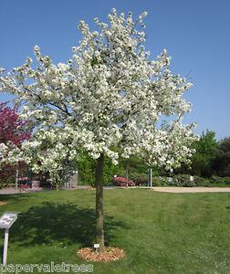 Malus Evereste / Crab Apple tree stunning fruit & flowers, 5L pot 5-6ft