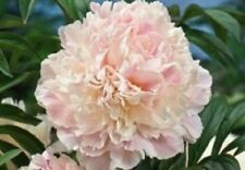PEONY/PEONIES PLANT  SHIRLEY TEMPLE  2/3 EYES ].Shipping Fall 2017