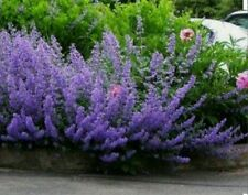 CATMINT Herb-200 Mussins Nepeta Racemosa Flower Seeds-Non GMO-Open Pollinated.